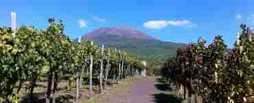 Vineyards in Mt. Vesuvius